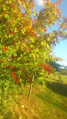 poivre arbre